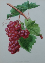 Druivenprenten