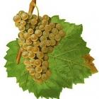 Uniek… de oerdruif aller druiven, nu per glas te proeven