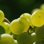 WijnTafel: proef sangiovese